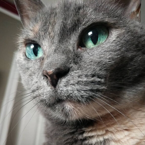 close up photo of pretty gray cat with blue-green eyes